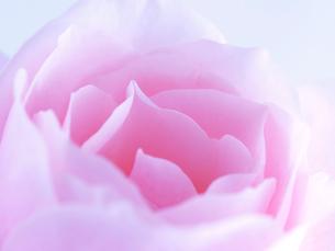 バラの花アップの写真素材 [FYI02926891]
