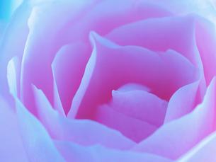 バラの花アップの写真素材 [FYI02926916]
