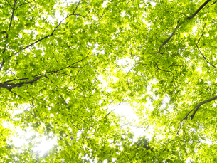 新緑の木の写真素材 [FYI02926929]