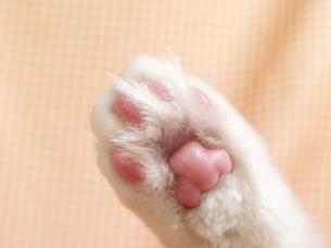 猫の肉球の写真素材 [FYI02926948]
