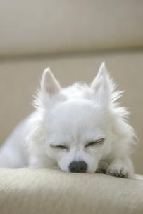 ぐっすりと眠るチワワの写真素材 [FYI02926987]