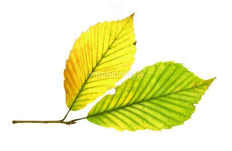 紅葉の落ち葉の写真素材 [FYI02927020]