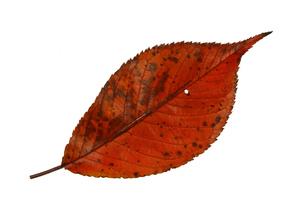 紅葉の落ち葉の写真素材 [FYI02927025]