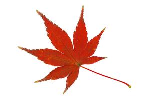 紅葉したモミジの写真素材 [FYI02927049]