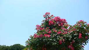 ピンクの花と青空の写真素材 [FYI02927079]