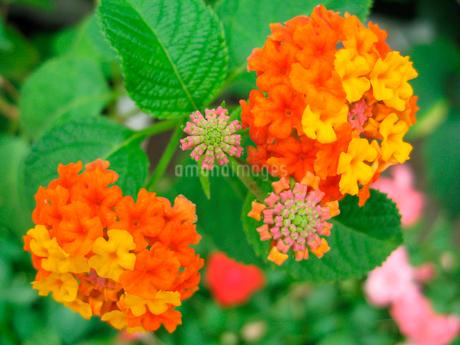 オレンジ色の花の写真素材 [FYI02927081]
