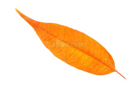 紅葉した葉の写真素材 [FYI02927163]