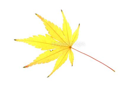 黄色く色づいたもみじの写真素材 [FYI02927182]