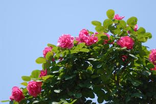 ピンクの花と青空の写真素材 [FYI02927245]