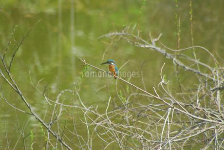 枝にとまるカワセミの写真素材 [FYI02927246]