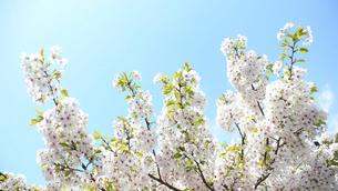 青空と桜の写真素材 [FYI02927252]