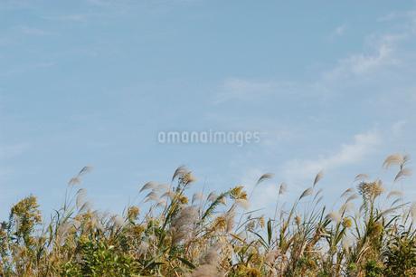 空とススキの写真素材 [FYI02927283]