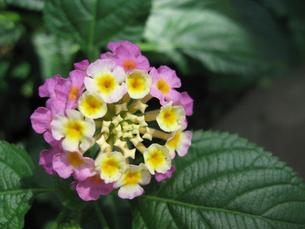 ピンクと白の花の写真素材 [FYI02927290]