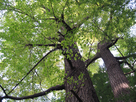 新緑の木の写真素材 [FYI02927321]