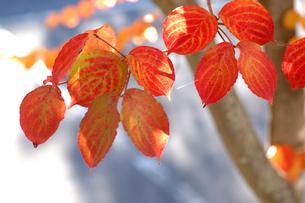 ヤマボウシの紅葉の写真素材 [FYI02927354]