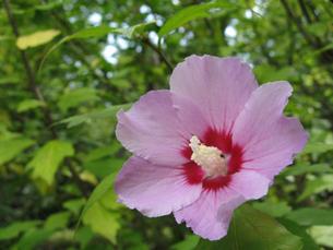 ピンク色の花の写真素材 [FYI02927411]