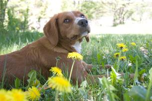 たんぽぽの草の上でくつろぐ犬の写真素材 [FYI02927468]