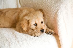ゴールデンレトリバーの子犬の写真素材 [FYI02927514]