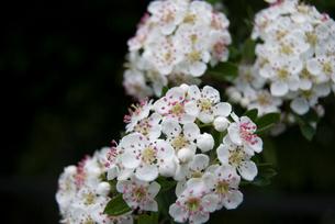 白い花の写真素材 [FYI02927691]