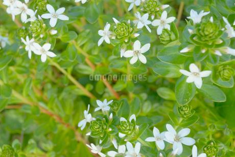 ハマボックスの花の写真素材 [FYI02927781]