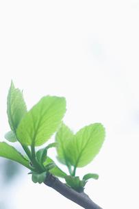 新緑の新芽の写真素材 [FYI02927837]