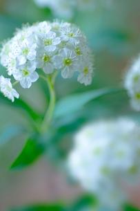 コデマリの花クローズアップの写真素材 [FYI02927851]