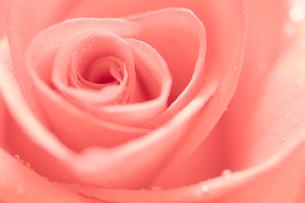 ピンクのバラの花びらクローズアップの写真素材 [FYI02927860]