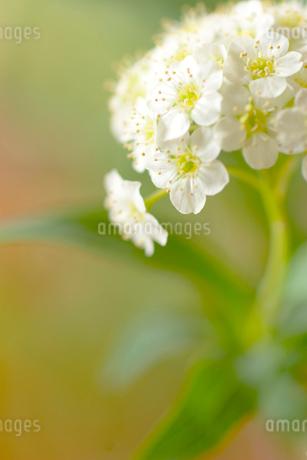 コデマリの花クローズアップの写真素材 [FYI02927863]