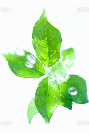 葉と水しぶきの写真素材 [FYI02927889]