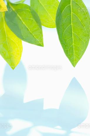 葉と水面にうつる葉の影の写真素材 [FYI02927894]