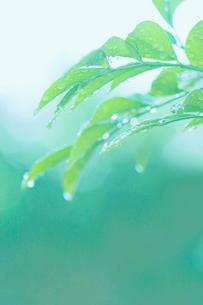 葉と水滴の写真素材 [FYI02927966]