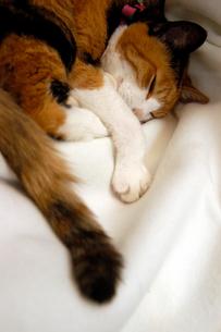 白い毛布で眠る三毛猫の写真素材 [FYI02928312]