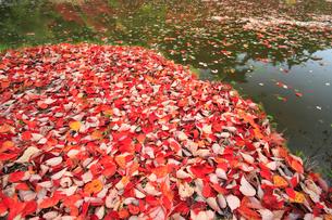 落葉の写真素材 [FYI02928449]