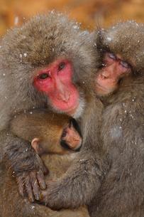猿の家族の写真素材 [FYI02928477]