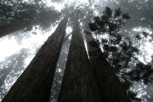 杉林の写真素材 [FYI02928484]