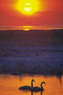朝日と白鳥の写真素材 [FYI02928741]