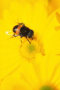 黄色い花にとまったハチの写真素材 [FYI02928748]