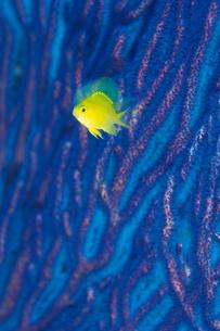 コガネスズメの写真素材 [FYI02928760]
