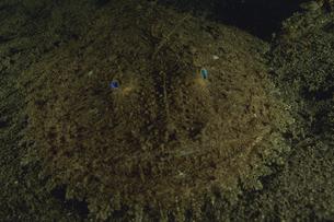 キアンコウの写真素材 [FYI02928803]