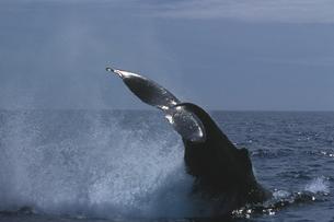 ザトウクジラの写真素材 [FYI02928829]