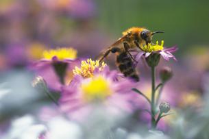 ハチの写真素材 [FYI02929418]