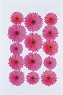 ピンクのガーベラの写真素材 [FYI02929455]