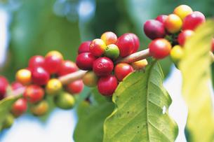コーヒー豆の写真素材 [FYI02929471]