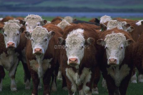 牛の写真素材 [FYI02929482]