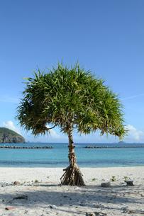 南国沖縄の白い砂浜にアダンの木の写真素材 [FYI02929670]