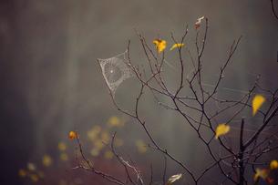 枯れ枝にクモの巣の写真素材 [FYI02930356]