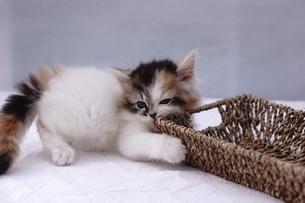 子猫の写真素材 [FYI02930709]