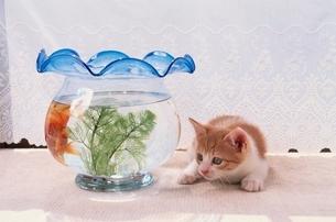 ネコ 1匹 金魚 金魚バチの写真素材 [FYI02933082]