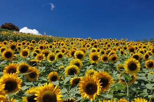 ヒマワリの咲くあわじ花さじきの写真素材 [FYI02933361]