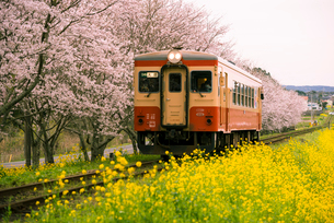 サクラ並木と菜の花畑を走るローカル線の写真素材 [FYI02933826]